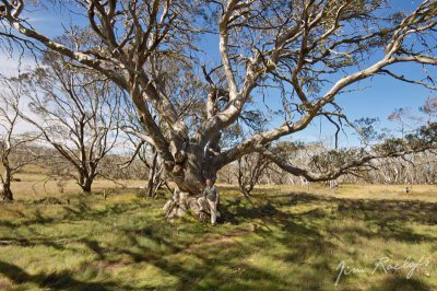 Old Snow Gum.jpg